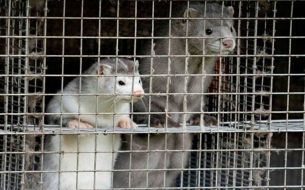mink farming in Europe